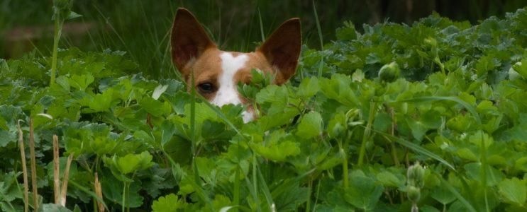 Ordspråk-Hund